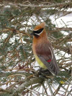 Needle Felted Bird Cedar Waxwing by kiyoshimino on Etsy
