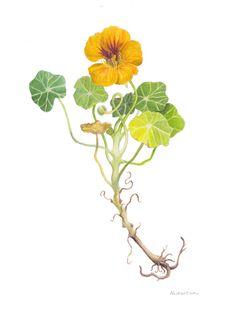 Nasturtium (Tropaeolum majus) ~ Watercolour