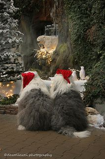These two are adorable Old English Sheepdogs waiting for Santa