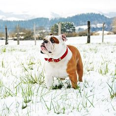 I'd like to imagine this is what I would look like if I was a bulldog. haha -JP-