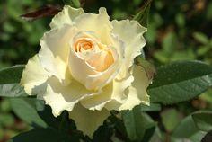 Vanilla - Ludwigs RosesLudwigs Roses