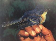 bird--1983 Monarca de Guam, Myiagra freycineti (extinto)