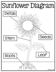parts of a sunflower labels teaching pinterest first grade Parts of a Loom Diagram sunflower diagram cut and paste freebie!