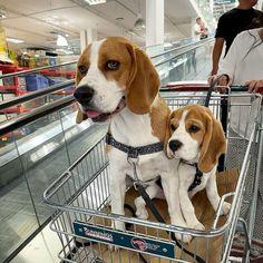 Baby Beagle, Beagle Puppies, Cute Puppies, Doggies, Dogs And Puppies, Cute Dogs, Animals Beautiful, Cute Animals, Beagle Breeds