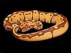 Purple Morph Ball Pythons | Image 2 of 2