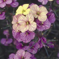 Wallflower - Plant World Lemon
