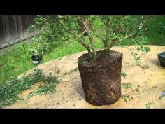 How to create bonsai from nursery plant Sweet Broom Part 2 Root Pruning & potting - YouTube