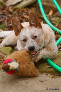 ACD/Red Heeler Pup