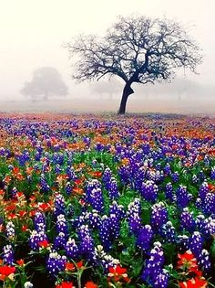Texas Flowers - Blue Bonnets and Indian Paintbrushes. In the spring they are everywhere.