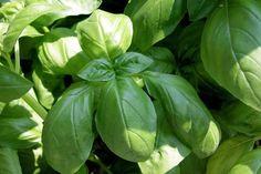 30 Wonderful ways to use basil