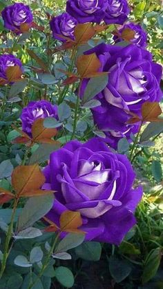 70 New Ideas For Flowers Purple Roses Beautiful Flowers Wallpapers, Beautiful Rose Flowers, Unusual Flowers, Flowers Nature, Amazing Flowers, Pretty Flowers, Purple Flowers, Colorful Roses, Orchid Flowers