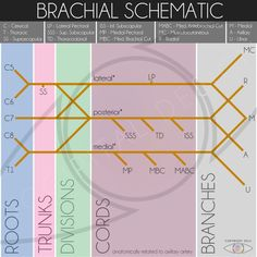 The Brachial Plexus as inspired by Henry Beck's work. Physical Therapy School, Hand Therapy, Physical Therapist, Occupational Therapy, Physician Assistant School, Shoulder Anatomy, Online Nursing Schools, Athletic Training, Anatomy And Physiology