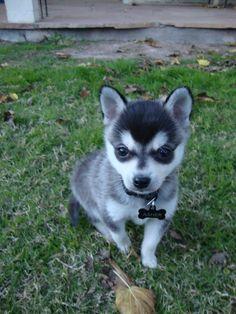 Alaskan Husky Dogs Husky And Chihuahua Mix Puppies Merle Chihuahua, Chihuahua Mix Puppies, Cute Puppies, Cute Dogs, Dogs And Puppies, Dogs 101, Awesome Dogs, Doggies, Alaskan Klee Kai Puppy