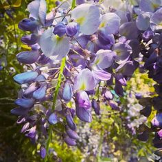 It's the Bank Holiday time for wisteria...