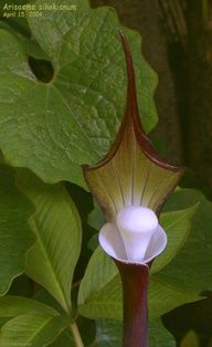 PlantFiles Pictures: Arisaema Species, Gaudy Jack, Jack-in-the-Pulpit, Japanese Cobra Lily (Arisaema sikokianum) by Lophophora Jack In The Pulpit, Pitcher Plant, Famous Daves, Carnivorous Plants, Cool Plants, Shade Garden, Perennials, Wild Flowers, Seeds