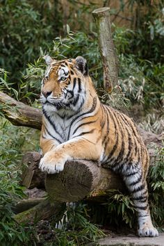 Tiger by Stefan Klausmeyer