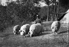 'Lote de cerdos cebados del Marqués de Albayda', Casa de Campo, Madrid, 1930