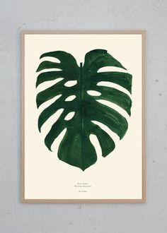 Plants - Monstera