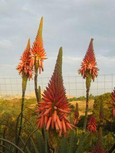 Aloe Succulent Plants, Planting Succulents, Great Pictures, Gardening, World, Tattoos, Gardens, Plant, Tatuajes