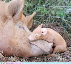 Mama and piglet... so cute