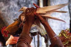 Victoire le Népal met fin au plus grand rituel de sacrifice animal au monde