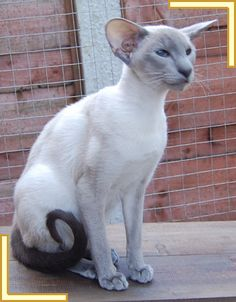 blue point siamese cat ~ I like the apple face better..