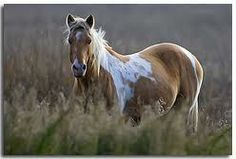 Whisper, a mare among the wild Chincoteague ponies