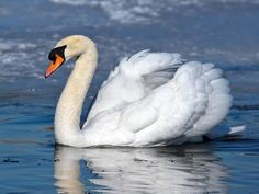 Mute Swan Identification, All About Birds, Cornell Lab of Ornithology Swan Pictures, Bird Pictures, Swans, Fantail Pigeon, Galah Cockatoo, Birds For Kids, Swan Animal, Trumpeter Swan, Mute Swan