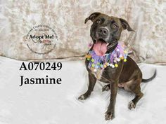 JASMINE - URGENT - Manatee County Animal Services in Palmetto, Florida - ADOPT OR FOSTER - Spayed Female Terrier Mix - at shelter since March 19, 2016 - Jasmine is an incredibly fun loving dog and would make a great companion for someone with lots of energy and the ability to exercise her. She's very young (under two yrs.), so she does exhibit puppy behaviors like jumping and excitability. A family that understands young dogs would be best.