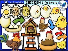 Chicken Life Cycle Clip Art (34 Graphics) Whimsy Workshop $