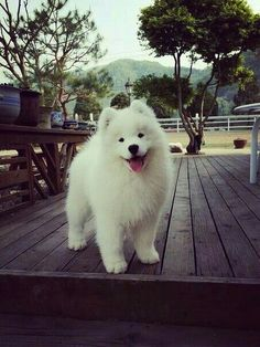 Download Samoyed Chubby Adorable Dog - 4b58525fee4bd33ca48b72ca433291d1--cute-cats-and-dogs-samoyed-puppies  Pic_201079  .jpg