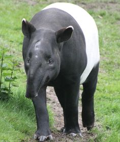 Fast Fact Attack: Endangered Species No. 75 – The Malayan Tapir - Another victim of palm oil! #endangered