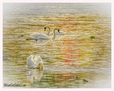 Stoney Creek Swans by LeeAnn McLaneGoetz McLaneGoetzStudioLLC.com  Swans enjoy the warm days and fall color reflections at Stoney Creek Metro Park, Washington Michigan  The swans are the largest members of the duck family Anatidae, and are among the largest flying birds. #swans,#Swimming,#sunset