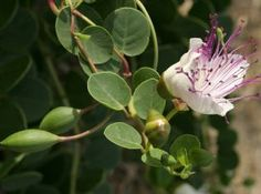 Caper plant with buds