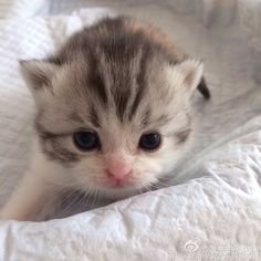 。 Baby Kittens, Kittens Cutest, Cats And Kittens, High Pitch, Scottish Fold, I Love Cats, Fur Babies, Creatures, Friends