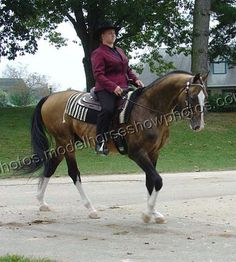 The Akhal Teke Stallion Pieter
