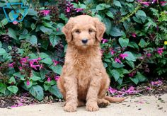Daisy May | Goldendoodle - Miniature Puppy For Sale | Keystone Puppies Goldendoodle Miniature, Miniature Puppies, Goldendoodle Puppy For Sale, Daisy May, Newborn Puppies, New Puppy, Puppies For Sale, Miniatures, Dogs