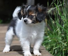 172 Best Papillon Puppies Or Dogs Images In 2019 Papillon Puppies