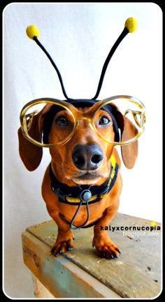 ...on 'bee'ing a doxie...