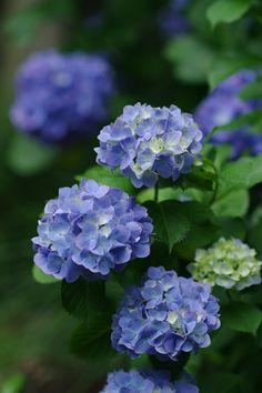 PENTAX K20D/smc PENTAX-FA☆ 85mm F1.4 [IF]紫陽花を見に入るのはこれが初めてとなる六義園。ここってあまり紫陽花が咲く庭園というイメージはなかったんですが、結構植えられているんですね。内庭大門近くの青い西洋アジサイは青い花、白い花、徐々に色が変わりかけているものと、一つの株でも色づきの変化を楽しめました。西洋アジサイはまだ芯に若干の白みを残してるくらいのが好きだな~(^-^)  ...