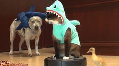 This just made my day: A Cat In A Shark Costume On A Roomba, Chasing A Duckling