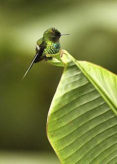 "sixpenceee: "" The smallest hummingbird, Bee Hummingbird or Zunzuncito (Mellisuga helenae), is a species of hummingbird that is endemic to Cuba and Isla de la Juventud. Wikipedia says it grows to 5-6..."