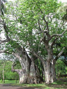 Baobab Tree , Africa BAOBAB TREE / MADAGASCAR : More At FOSTERGINGER @ Pinterest