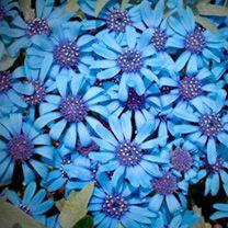 113400 - Felicia Seeds - Pretty Blue