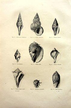 1860 antique imprimé des coquillages de différentes classe gravure, étonnants molluks originales d'impression, la plaque de coquille Couronne tun bizarrerie, palourde de la volute.