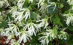Emerald Snow Loropetalum - Flowering Shrub from the Southern Living Plant Collection Featuring white, delicate fringe spring flowers and fall flowers along with glossy, dark-green foliage. Plants Online, Deer Resistant Shade Plants, Plants, Bushes And Shrubs, Shrubs, Spring Blooms, Foliage Plants, Buy Plants Online, Southern Living Plant Collection