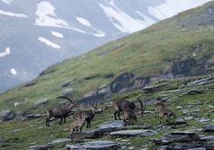 Steinbock-Kolonie beim Kistenstöckli in Brigels. Foto: montana sports