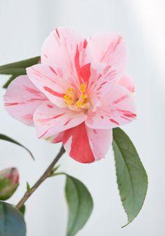 Trehane Nursery, Dorset: Close Up Of The Flower Of Camellia Japonica 'haru No Utena'