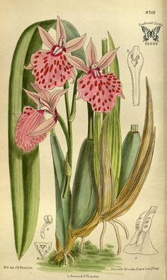 Leochilus majalis. Curtis's Botanical Magazine, vol. 143 [ser. 4, vol. 13] (1917) [M. Smith] | Flickr