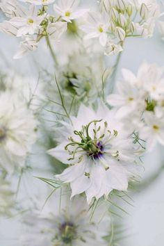 "nigella ""love-in-a-mist"" 